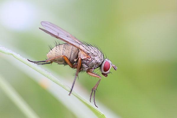Fliege (unbestimmt) (Brachycera indet.) Bild 006 Foto: Regine Schadach