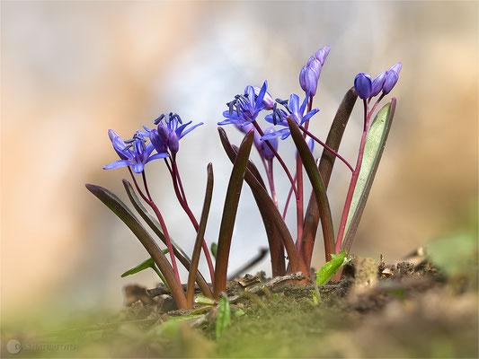 Zweiblättriger Blaustern (Scilla bifolia) Bild 001 Foto: Regine Schulz - Olympus OM-D E-M1 Mark II - M.ZUIKO DIGITAL ED 40‑150mm 1:2.8 PRO