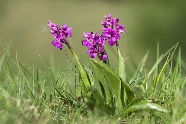 Stattliches Knabenkraut (Orchis mascula) - Bild 010 - Foto: Regine Schadach