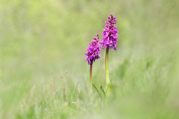 Stattliches Knabenkraut (Orchis mascula) - Bild 007 - Foto: Regine Schadach