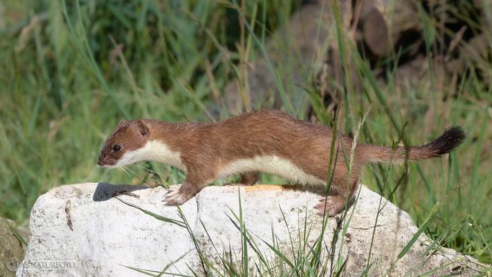 Hermelin (Mustela erminea) - Foto: Regine Schulz