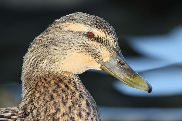 Stockente (Anas platyrhynchos)  - Weibchen Bild 016 Foto: Regine Schadach
