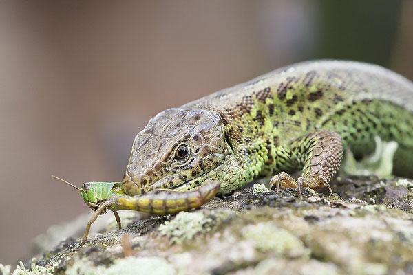 Zauneidechse (Lacerta agilis) - Männchen Bild 004 Foto: Regine Schadach