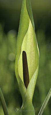 Gefleckter Aronstab (Arum maculatum s.str.) Bild 003 Foto: Regine Schadach