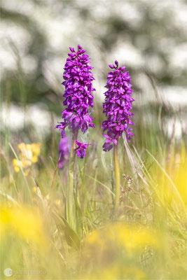 Manns-Knabenkraut (Orchis mascula)  - Bild 018 -Foto: Regine Schadach - Olympus OM-D E-M5 Mark II - M.ZUIKO DIGITAL ED 12‑100 1:4.0 IS PRO