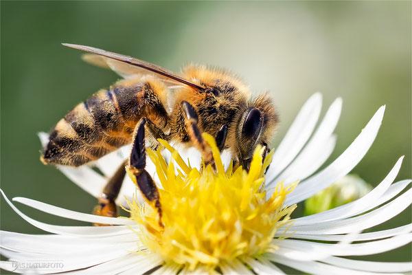 Westliche Honigbiene (Apis mellifera) Bild 003 Foto: Regine Schulz