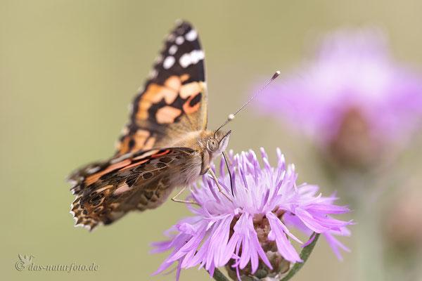 Distelfalter (Vanessa cardui) Bild 005 Foto: Regine Schadach - Canon EOS 5D Mark III Sigma 150mm f/2.8 Macro