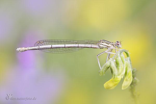 Blaue Federlibelle (Platycnemis pennipes) Bild 024 Foto: Regine Schadach - Canon EOS 5D Mark III Sigma 150mm f/2.8 Macro