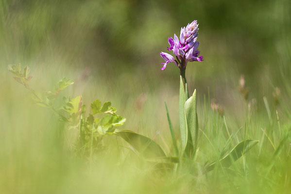 Helm-Knabenkraut (Orchis militaris) - Bild 004 - Foto: Regine Schadach