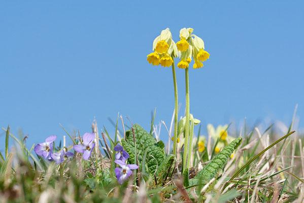 Wiesen-Schlüsselblume (Primula veris) - Bild 002 - Foto: Regine Schadach