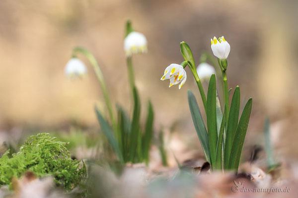 Märzenbecher (Leucojum vernum) - Bild 011 - Foto: Regine Schulz