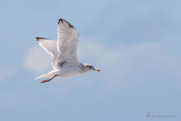 Silbermöwe (Larus argentatus)  - Bild 007 - Foto: Regine Schadach
