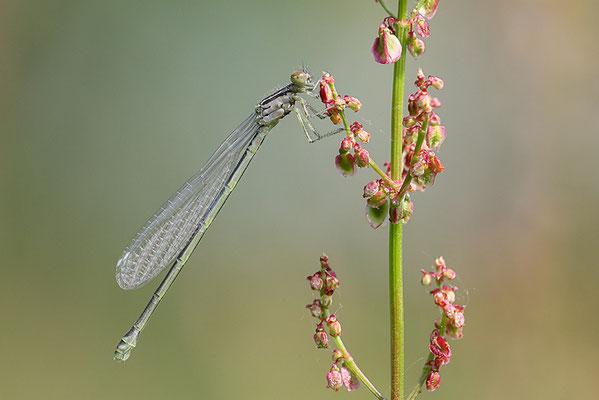 Hufeisen-Azurjungfer (Coenagrion puella) Weibchen - Bild 004 Foto: Regine Schulz