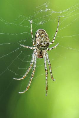 Herbstspinne Artenkomplex (Metellina segmentata / mengei) (Metellina segmentata / mengei) - Bild 002 Foto: Regine Schulz