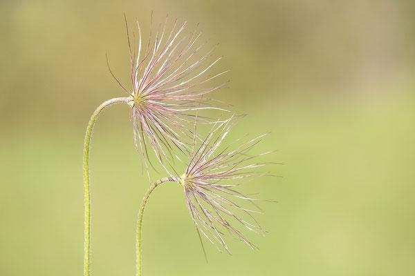 Gewöhnliche Kuhschelle (Pulsatilla vulgaris) Bild 022 Foto: Regine Schadach