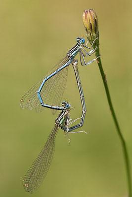 """Gemeine Federlibelle (Platycnemis pennipes) - auch """"Blaue Federlibelle"""" Bild 019 Foto: Regine Schadach"""