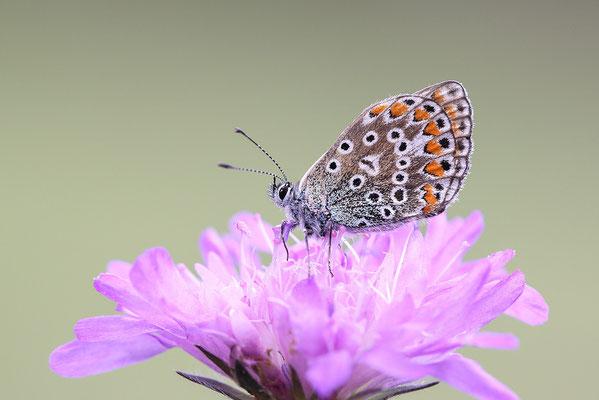 Hauhechel-Bläuling (Polyommatus icarus) - Bild 003 - Foto: Regine Schadach