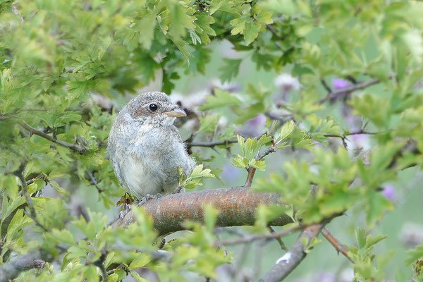 Neuntöter (Lanius collurio) oder Rotrückenwürger - Jungvogel - Bild 001 - Foto: Regine Schadach