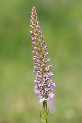 Mücken-Händelwurz (Gymnadenia conopsea) Bild 004 - Foto: Regine Schadach