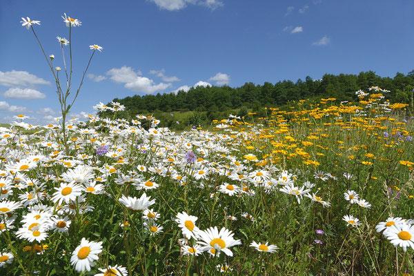 Renaturierte Sommerwiese - Südlicher Salzgittischer Höhenzug - Foto: Regine Schulz