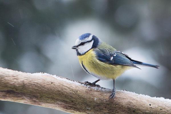 Blaumeise (Cyanistes caeruleus) - Bild 007 - Foto: Regine Schadach