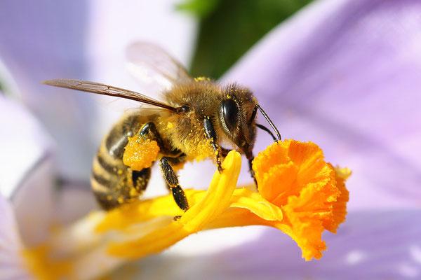 Westliche Honigbiene (Apis mellifera) Bild 001 Foto: Regine Schulz