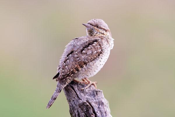 Das Foto zeigt uns, warum der Vogel Wendehals heißt!! - Foto: Horst Engler