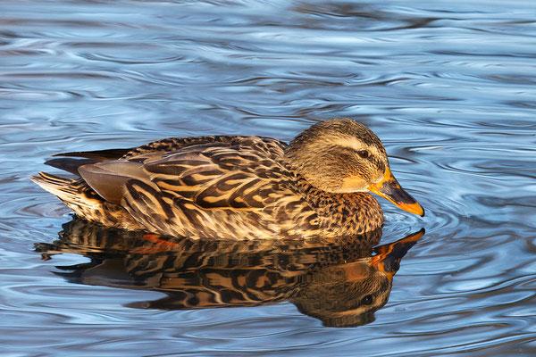 Stockente (Anas platyrhynchos) - Weibchen Bild 017 Foto: Regine Schadach