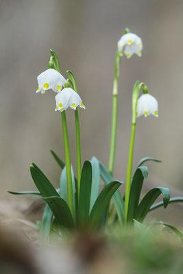 Frühlings-Knotenblume (Leucojum vernum) oder auch Märzenbecher genannt - Bild 003 - Foto: Regine Schadach
