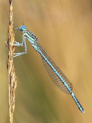 """Gemeine Federlibelle (Platycnemis pennipes) - auch """"Blaue Federlibelle"""" Bild 013 Foto: Regine Schulz"""