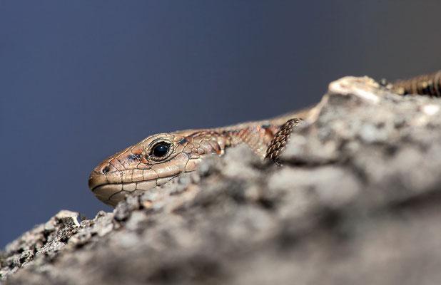 Waldeidechse (Zootoca vivipara) - Bild 001 - Foto: Regine Schadach