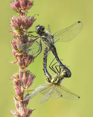 Schwarze Heidelibelle (Sympetrum danae) Paarungsrad - Bild 005 - Foto: Regine Schadach
