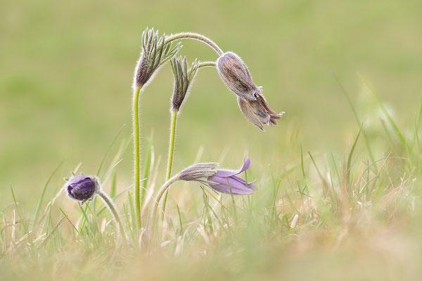 Gewöhnliche Kuhschelle (Pulsatilla vulgaris) Bild 019 Foto: Regine Schulz