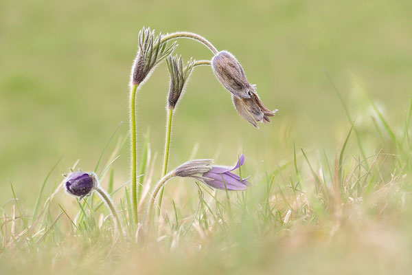 Gewöhnliche Kuhschelle (Pulsatilla vulgaris) Bild 019 Foto: Regine Schadach