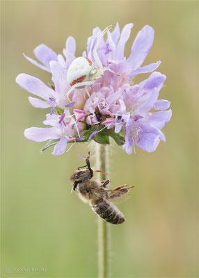 Veränderliche Krabbenspinne (Misumena vatia) mit Beute, eine Honigbiene Bild 004 Foto: Regine Schulz Olympus OM-D E-M1 Mark II - M.ZUIKO DIGITAL ED 60mm 1:2.8 Macro