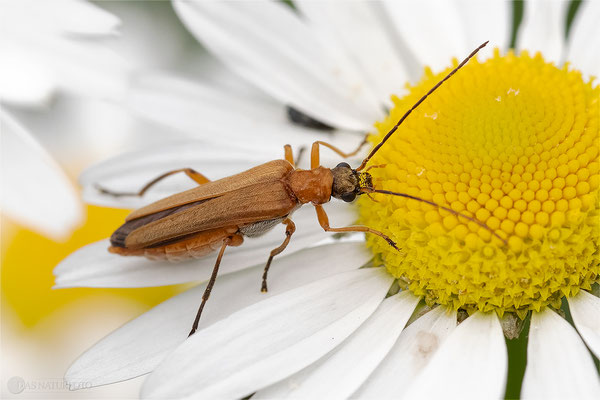Echter Schenkelkäfer (Oedemera podagrariae) Weibchen Bild 001 - Foto: Regine Schulz  OM-D E-M1 Mark II - ED 60mm 1:2.8 Macro
