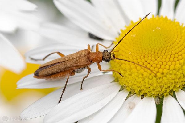 Echter Schenkelkäfer (Oedemera podagrariae) Weibchen Bild 001 - Foto: Regine Schadach - OM-D E-M1 Mark II - ED 60mm 1:2.8 Macro