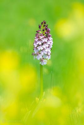 Purpur-Knabenkraut (Orchis purpurea) Bild 020 - Foto: Regine Schadach - Olympus OM-D E-M1 Mark II - M.ZUIKO DIGITAL ED 40‑150mm 1:2.8 PRO