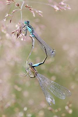 Paarungsrad - Große Pechlibelle (Ischnura elegans) Bild 007 Foto: Regine Schadach