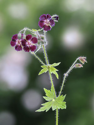 Brauner Storchschnabel (Geranium phaeum) - Bild 001 - Foto: Regine Schulz