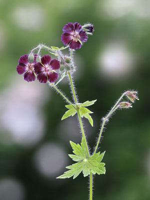Brauner Storchschnabel (Geranium phaeum) - Bild 001 - Foto: Regine Schadach