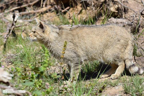 Wildkatze (Felis silvestris) Bild 002 - Foto: Uwe Bärecke