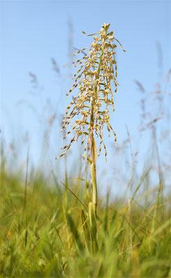 Bocks-Riemenzunge (Himantoglossum hircinum) Bild 001 Foto: Regine Schadach - Canon EOS 5D Mark III Sigma 150mm f/2.8 Macro