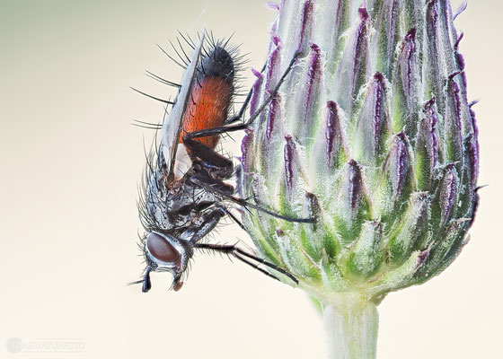 Rotgefleckte Raupenfliege (Eriothrix rufomaculatus) Bild 001 - Foto: Regine Schadach - Olympus OM-D E-M1 Mark I I - M.ZUIKO DIGITAL ED 60mm 1:2.8 Macro