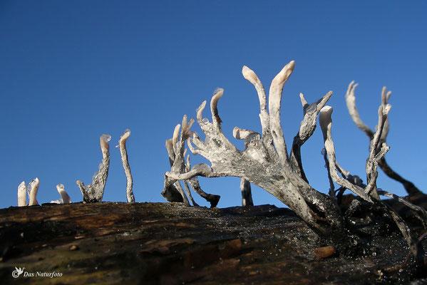 Geweihförmige Holzkeule (Xylaria hypoxylon) Bild 002 Foto: Regine Schadach