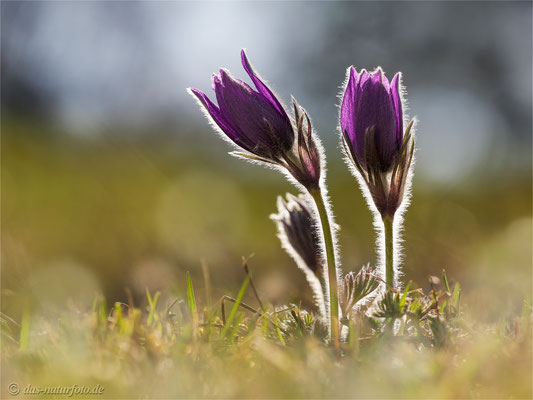 Gewöhnliche Kuhschelle (Pulsatilla vulgaris) Bild 029 Foto: Regine Schadach - Canon EOS 5D Mark III Sigma 150mm f/2.8 Macro