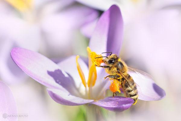 Westliche Honigbiene (Apis mellifera) Bild 006 - Foto: Regine Schulz  - Olympus OM-D E-M5 Mark II - M.ZUIKO DIGITAL ED 40‑150mm 1:2.8 PRO