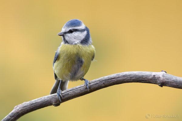 Blaumeise (Cyanistes caeruleus) - Foto: Volker Schadach - Canon EOS 5 D Mark III - Canon EF 400mm f/5.6 L USM