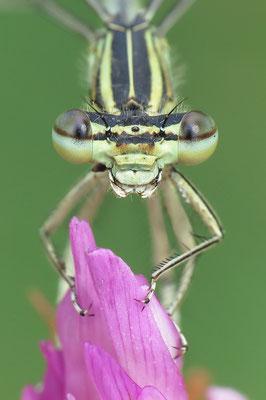 """Gemeine Federlibelle (Platycnemis pennipes)  Weibchen - auch """"Blaue Federlibelle"""" Bild 004 Foto: Regine Schadach"""