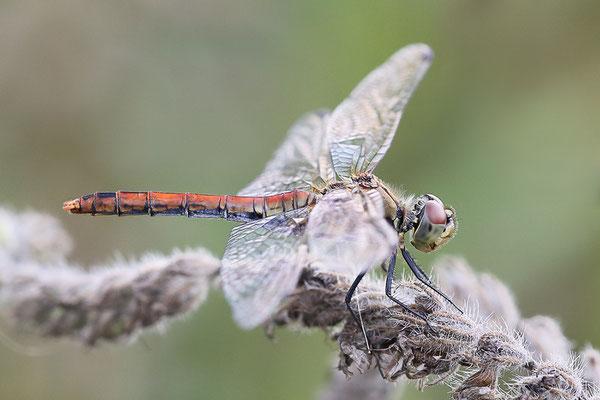 Blutrote Heidelibelle (Sympetrum sanguineum) Bild 004 Foto: Regine Schadach